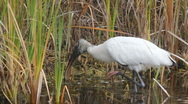 Stock Video Footage of Wood Stork (Mycteria americana), Holly Hill, FL