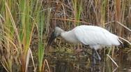 Wood Stork (Mycteria americana), Holly Hill, FL Stock Footage