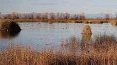 Gray Lodge, waterfowl Stock Footage