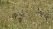 Ostrich P2 Stock Footage