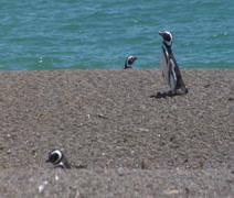 Penguins wander Ocean beach Stock Footage
