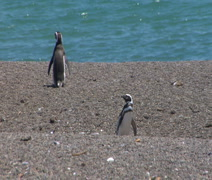 2 Penguins at the ocean walking to water Stock Footage