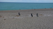 Penguins march to the Ocean beach 3 Wide Stock Footage