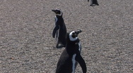 Magellanic Penguin rookery on beach zoom out reveals ocean Stock Footage