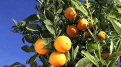 Citrus fruit oranges Stock Footage