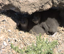Baby Magellanic Penguin Med Stock Footage