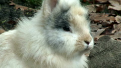 Lionhead rabbit - stock footage