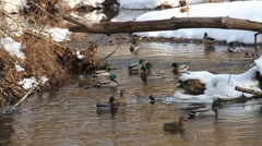 DUCKS WINTER GROUP Stock Footage