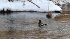 SLOW MO-DUCK DRYING OFF SHAKE TAIL Stock Footage