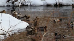 Group Ducks Hanging Out Stock Footage