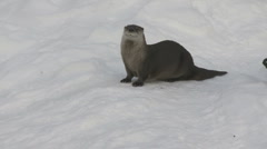 Otter Stock Footage