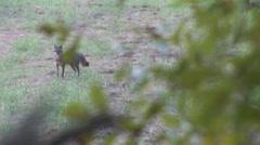Grey Fox Stock Footage
