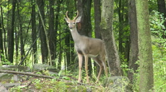 Young deer buck stamps hoof in alarm Stock Footage