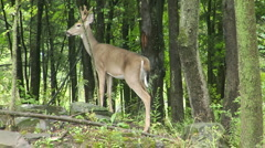 Buck deer bounds into woods Stock Footage