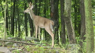 Stock Video Footage of Buck deer bounds into woods
