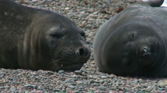 Couple of fur seals - stock footage