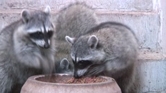 Racconns eating and fighting over catfood 3 - stock footage