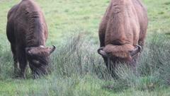 European bisons Stock Footage