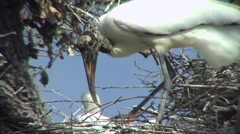 Wood Stork Building Nest Stock Footage