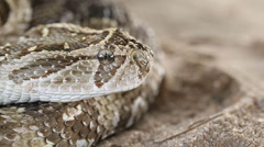 Puff adder in defensive position with flicking tongue, southern Africa Stock Footage