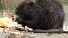Otter to eat and swim Stock Footage
