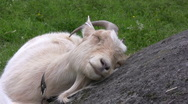 Stock Video Footage of Tired Goat