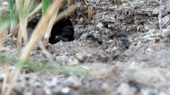 Many ants using twigs to build an anthill Stock Footage