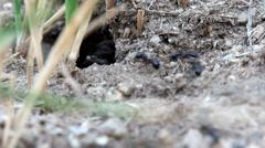 Monet muurahaiset käyttävät oksia rakentaa muurahaiskeko Arkistovideo