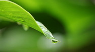 Drops falling from leaf Stock Footage