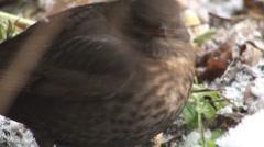 Bird eat food dead plants,snow Stock Footage