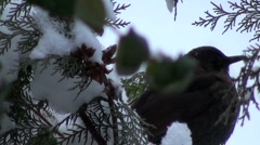 Bird eat food dead plants,snow Stock Footage