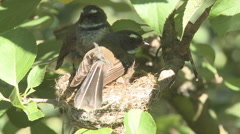 Fantails share nesting duties Stock Footage