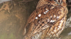 The eagle Owl in winter Stock Footage