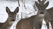 Stock Video Footage of deer running in the mountains