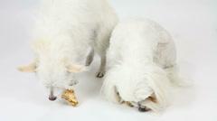 Dog Bone Eating Contest Stock Footage