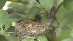 Fantail bird feeds its chicks in nest Stock Footage