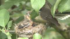 Fantail chicks in nest Stock Footage