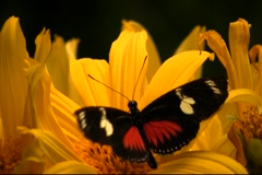 Butterfly feeding on nectar from bright yellow flower Stock Footage