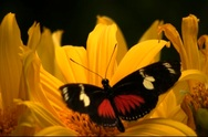 Stock Video Footage of Butterfly feeding on nectar from bright yellow flower