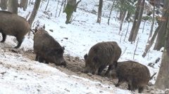 wild boar,wild boars, hog, group, wild animals - stock footage