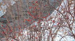 Winter   river and rose hip Stock Footage