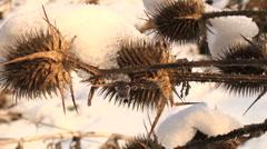 Thistle fozen in winter Stock Footage