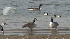 Mallard feed, Wigeon and Canada Geese swim on lake. Stock Footage