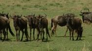 Stock Video Footage of Wildebeest P5