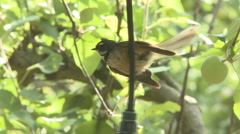 Fantail bird slow motion  Stock Footage