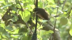 Fantail bird hangs off a sprinkler Stock Footage