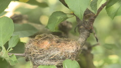 Fantail feeds chicks and settles on nest  Stock Footage