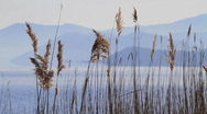 Stock Video Footage of Reed Stalks