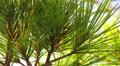 Pine tree Footage