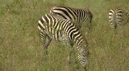 Stock Video Footage of Zebra P3